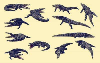 Alligator-Ancient animal